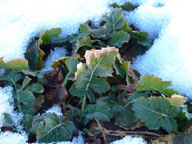 proteger-plantes-maladie-hiver
