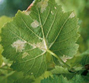mildiou-vigne