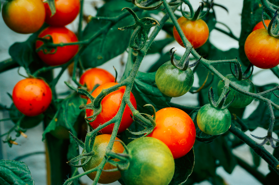 Plants de tomates rouges et vertes